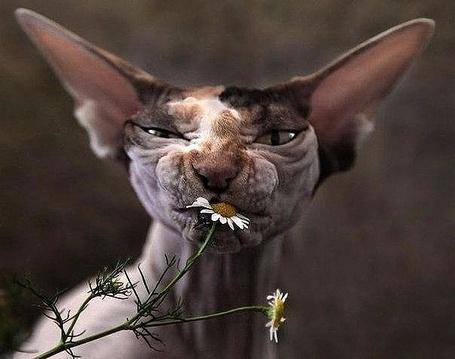 Фото Кошка сфинкс жует цветок ромашку