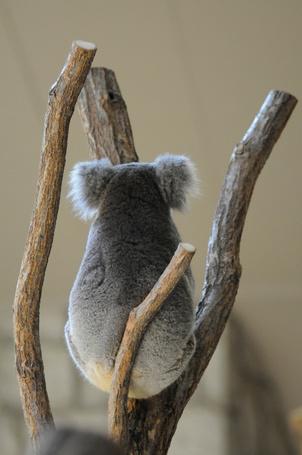 Фото Коала сидит на дереве, by BONGURI