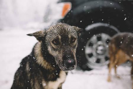 Фото Грустный пес под снегом, фотограф Nick carnera