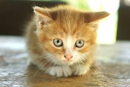 Фото Рыжий котенок сидит, внимательно рассматривая что-то перед собой, фотограф Дмитрий Цветков