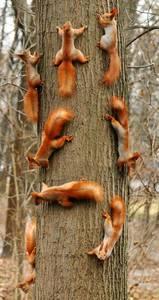 Фото Много белок на стволе дерева, by Phamtazmic