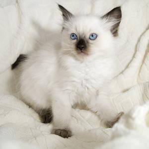 Фото Голубоглазый ангорский котенок на белом покрывале, by Jon Pinder