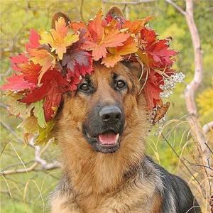 Фото Собака овчарка в венке из осенних листьев