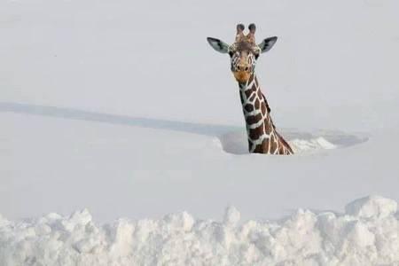 Фото Жираф в снегу