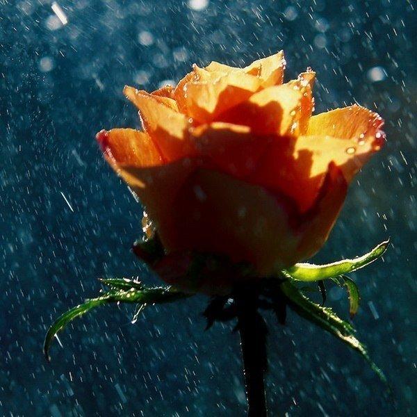 наградила его розы под дождем фото есть кого чисто
