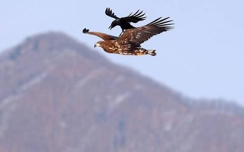 Фото Наглая ворона оседлала орла в небе над Южной Кореей