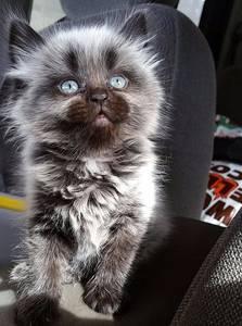 Фото Голубоглазый котенок с добрым взглядом сидит в кресле авто