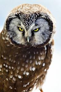 Фото Суровый взгляд желтоглазой совы