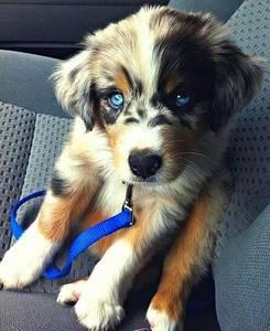 Фото Щенок с голубыми глазами сидит на сидении автомобиля