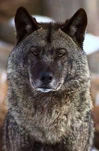 Фото Красивый и гордый волк с умным взглядом