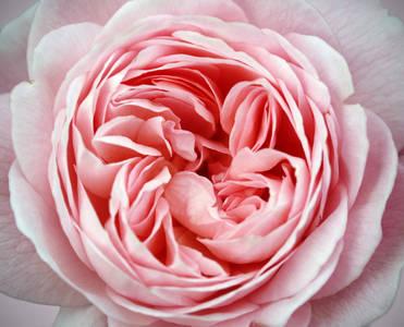 Фото Розовая роза крупным планом, ву Brian Haslam