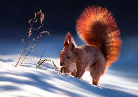 Фото Белочка с пушистым хвостом что-то ищет в снегу, фотограф Полюшко Сергей