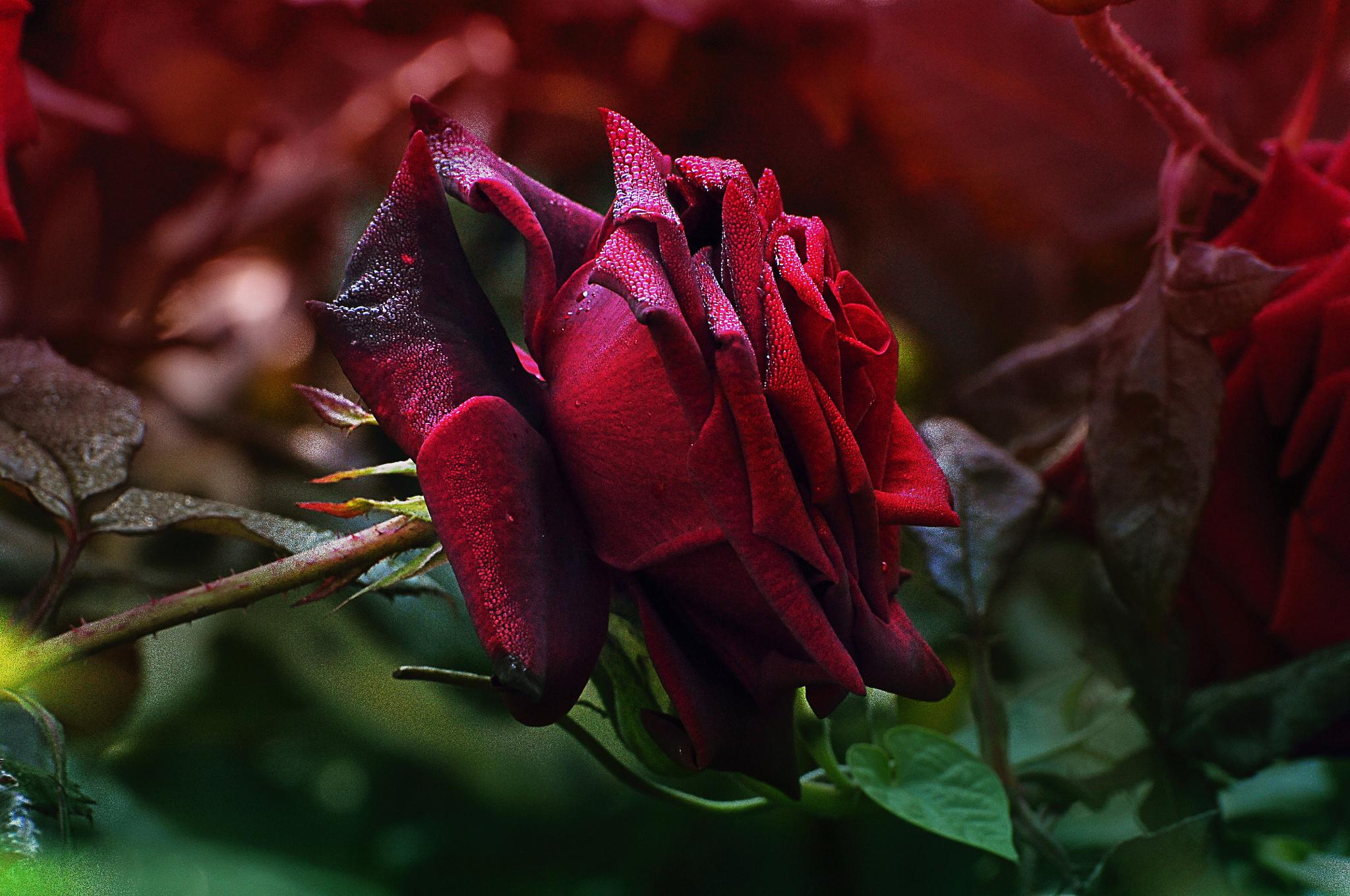 рекламы розы бордо в картинках наверное жены