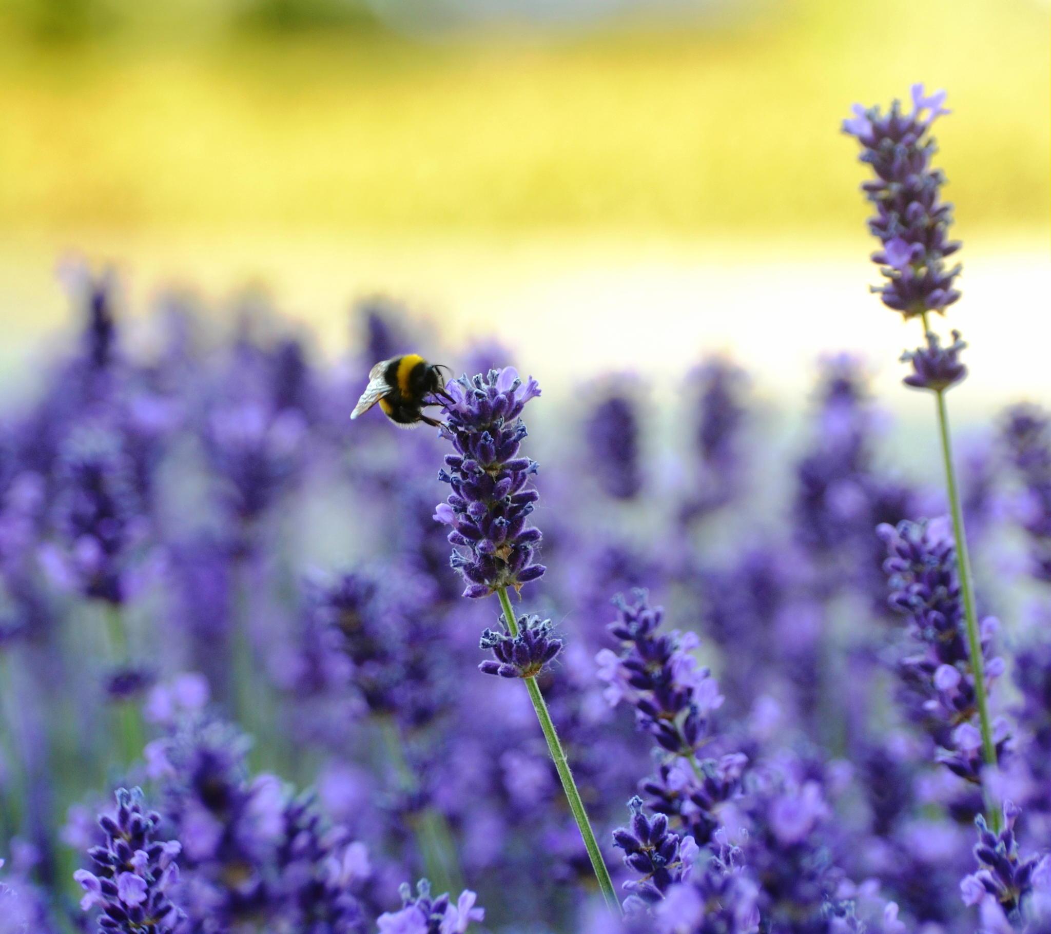 Фото Пчела сидит на цветке, ву Andrea Boldizsar