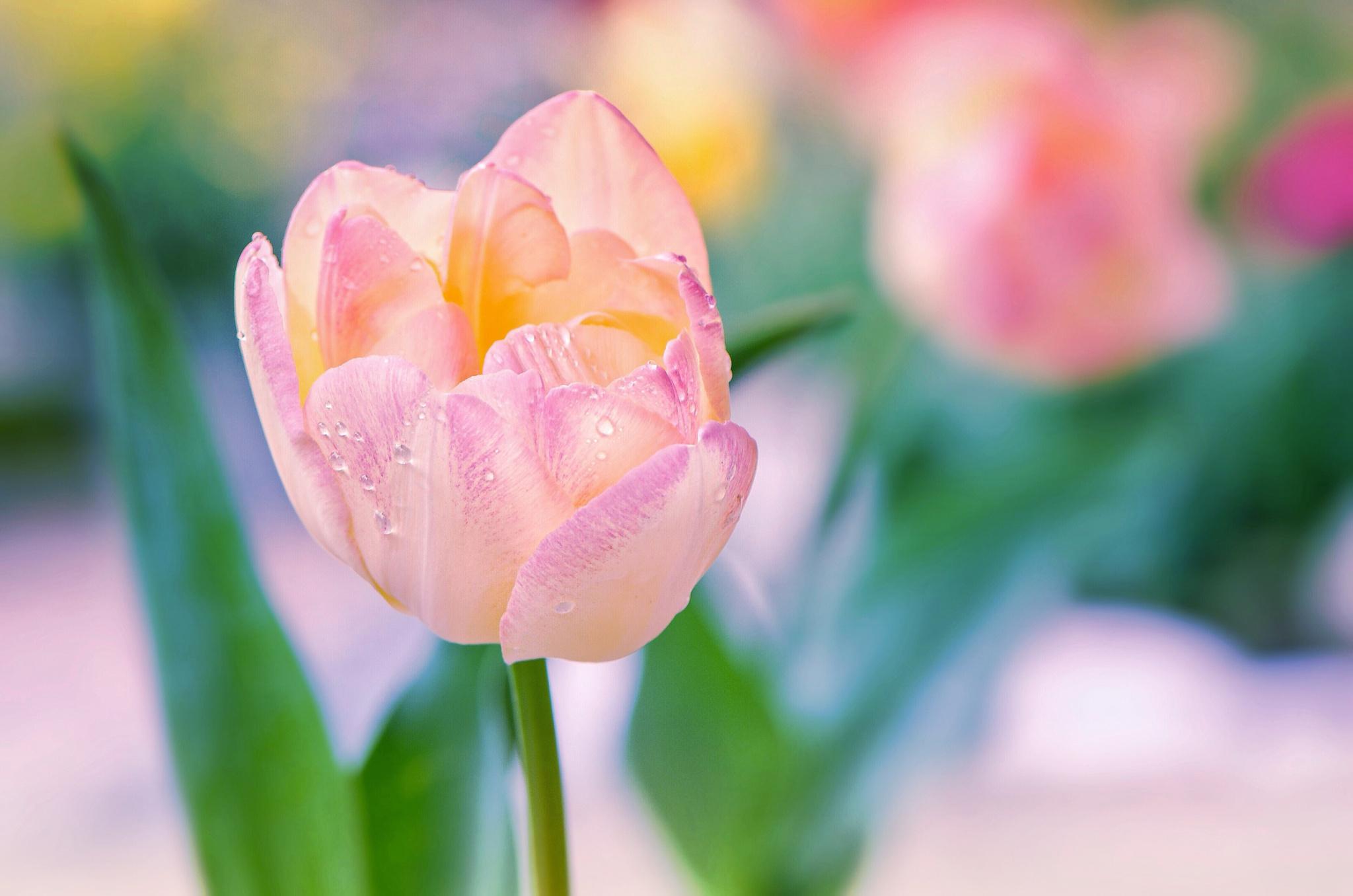 Нежные тюльпаны картинки на телефон