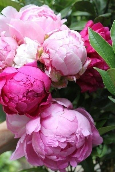 Розовые нераспустившиеся пионы