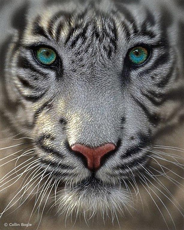 Фармацевта, картинки белый тигренок с голубыми глазами