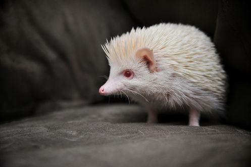 Фото Ёж альбинос с красными бусинками глаз