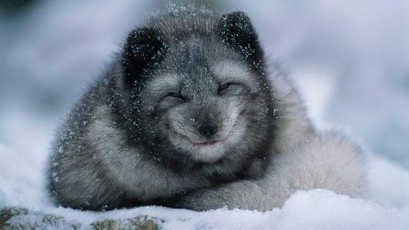 Фото Песец или полярная лисица лежит на снегу