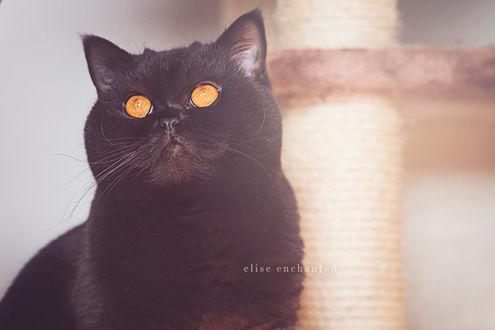 Фото Черный кот с янтарными глазами, by EliseEnchanted