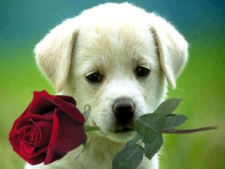 Фото Грустный щенок с розой