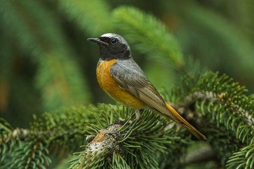 Фото Небольшая птица на ветке елки