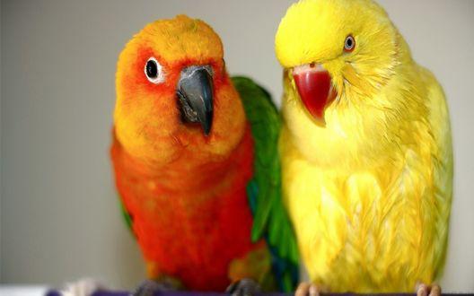 Фото Два ярких попугая - желтый и оранжевый с зелеными крыльями