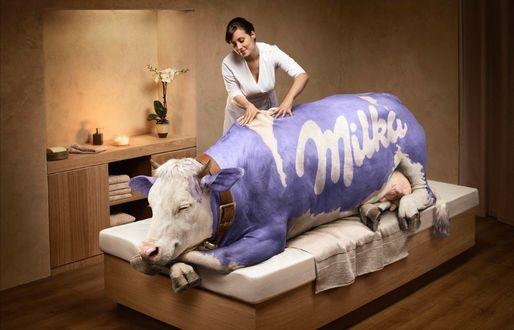 Фото Корова Милка / Milka лежит на столе и девушка делает ей массаж, by Romain Laurent