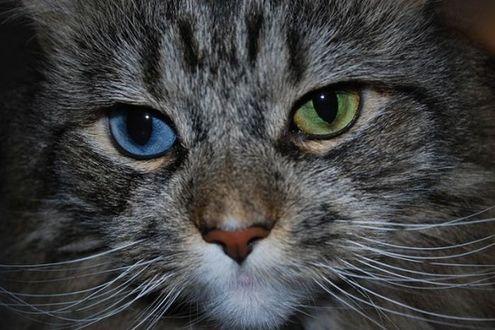 Фото Кот с разноцветными глазами