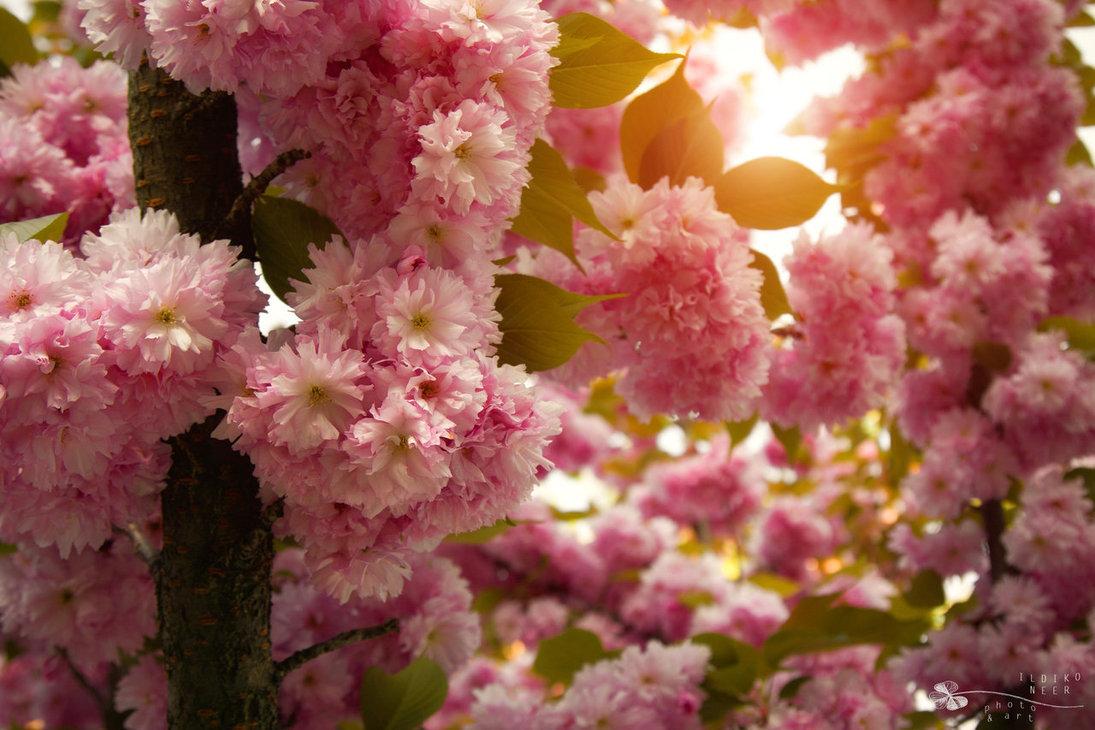 Stock Foto Primavera sakura blossom, por ildiko-neer