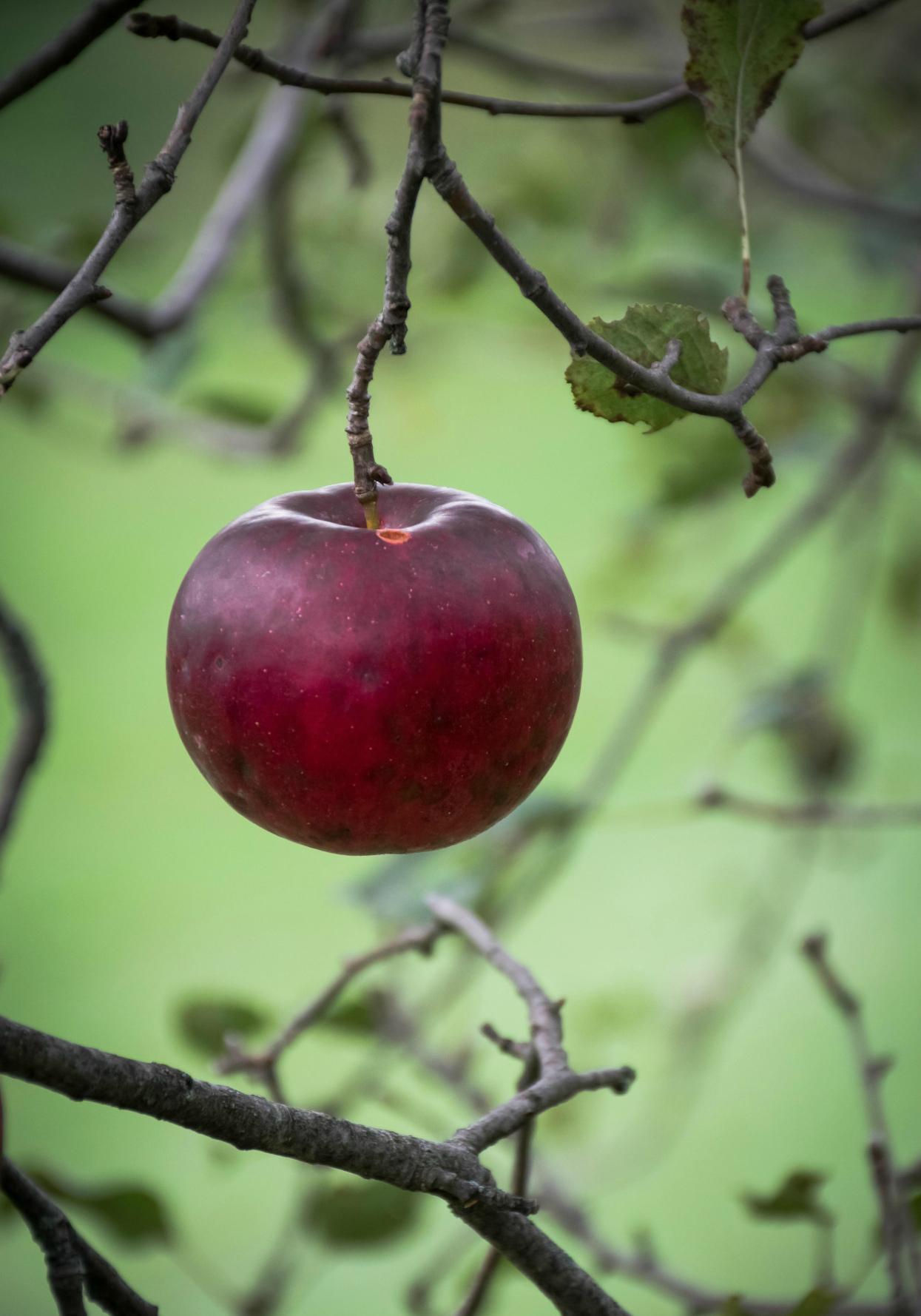Фото Одинокое красное яблоко на ветке