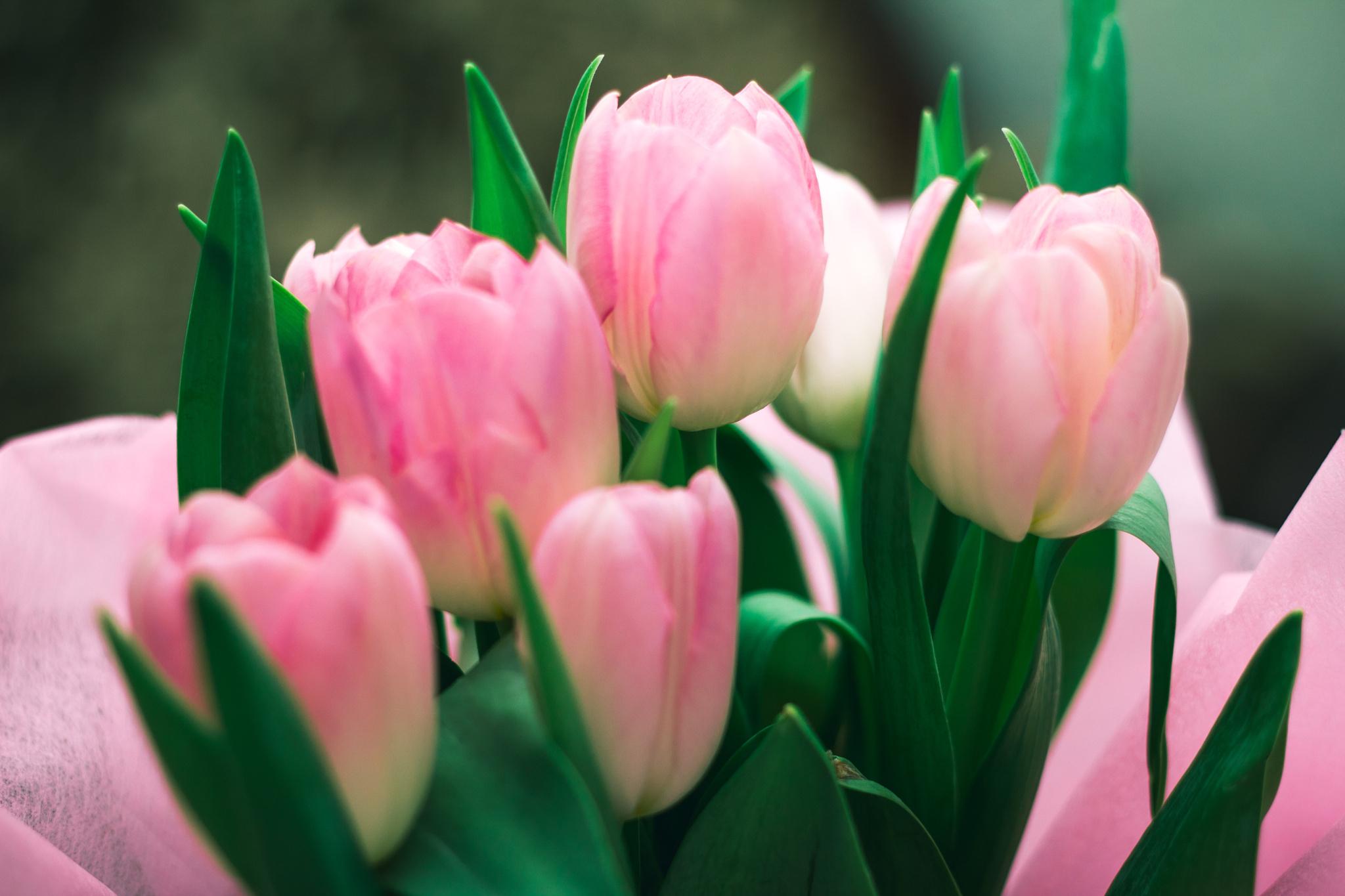 картинка нежно розовых тюльпанов одинаковые