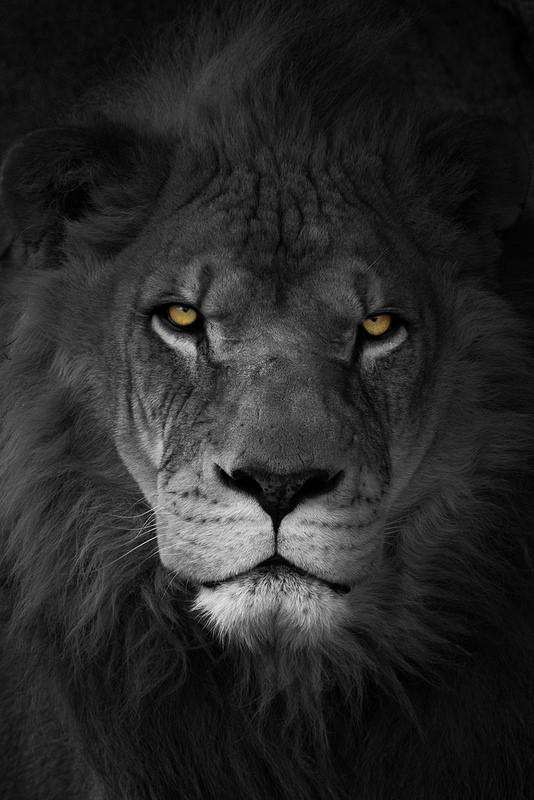 Картинки льва в черно белом цвете, дед мороза смешная