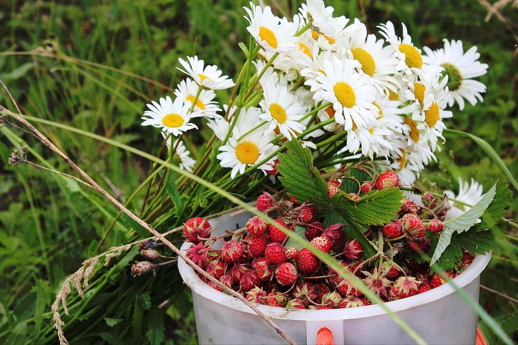 картинки с полевыми цветами и ягодами самых авторитетных