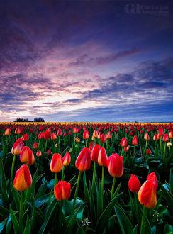 Фото Поле тюльпанов под облачным небом, by Christina Angquico