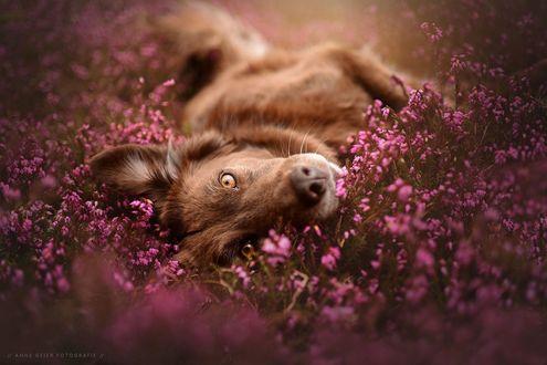 Фото Собака лежит на траве с фиолетовыми цветами, by Anne Geier