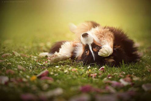 Фото Собака лежит на зеленой траве с осенними листьями, by Anne Geier