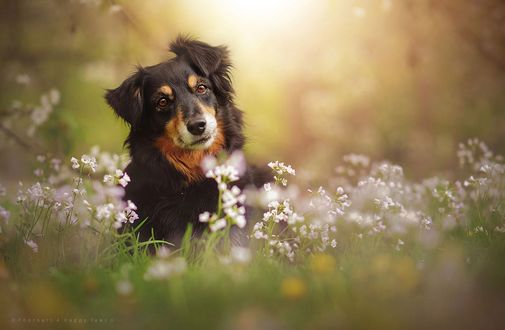 Фото Собака сидит в траве с белыми цветами, by Anne Geier