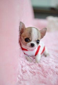 Фото Собачка породы чихуахуа сидит на мягком розовом ковре
