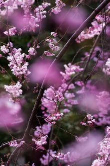 Фото Весенние цветущие веточки, by Shin-Okamoto