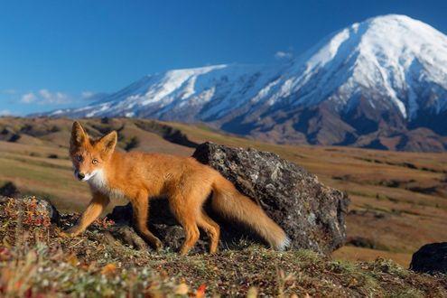 Фото Лисица на размытом фоне гор, автор фото Денис Будьков