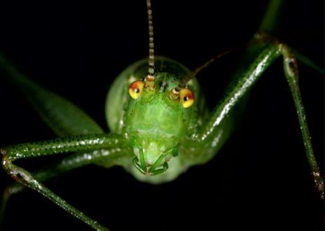 Фото Взгляд зеленого кузнечика на черном фоне