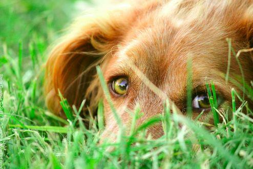 Фото Взгляд собаки из травы
