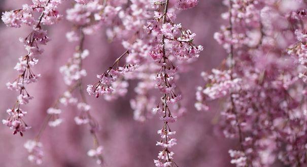 Фото Цветущие весенние веточки, by yasunori tanaka