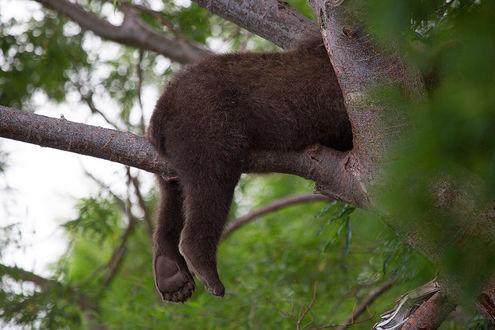 Фото Спящий на дереве медведь свесил задние лапы с ветки