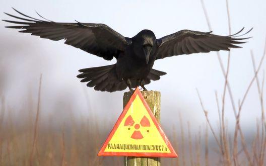 Фото Черный ворон сидит на столбике со знаком (Радиационная опасность) на фоне засохших кустов, выступающих из тумана