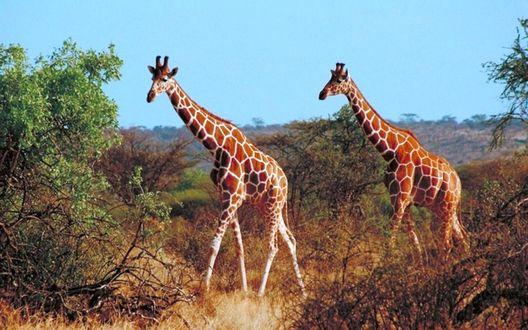 Фото Жирафы на прогулке по африканской саванне