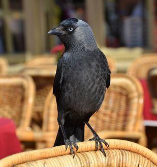 Фото Черный ворон на спинке плетеного стула