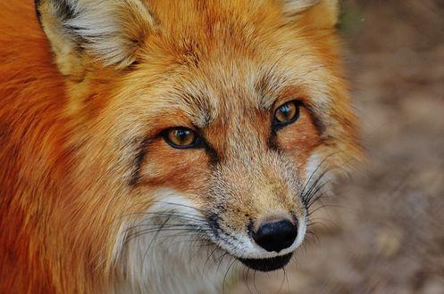 Фото Рыжая лиса крупным планом
