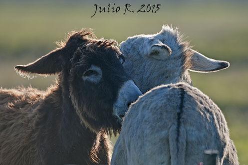 Фото Два влюбленных ослика, by Julio Gоmez Raindo